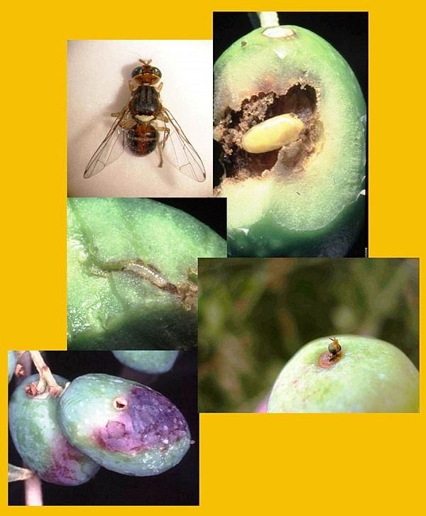 lutte contre la mouche de l'olivier en protection raisonnée*